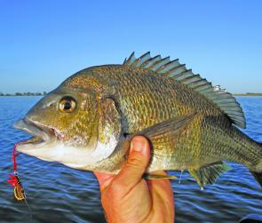 Blades are deadly and fool big bream.