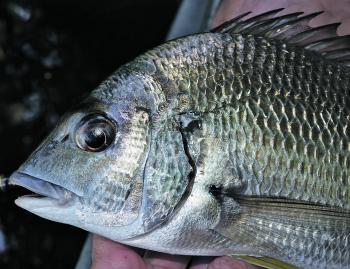 Bream are in abundant supply, and February is a prime month for lure casting or bait fishing.