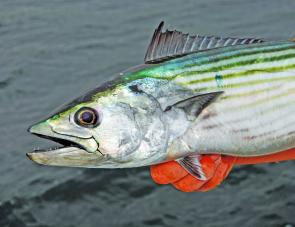 Bonito are very popular targets around the local rocks, especially through the Autumn.