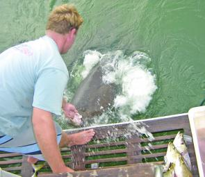 This groper made a splash at the side of Ross Fenn's charter boat.