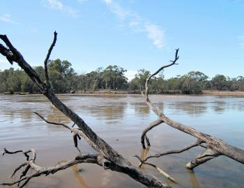 The high flows in the Murray river has lead to some great golden perch fishing.