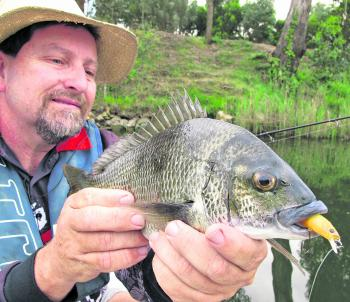 The upper Mitchell River has produced a lot of bream between 30-36cm during the spawning run. The new Hurricane lure called a Kaplunk doing the damage again.