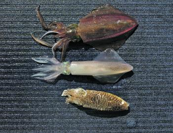 These are the three main cephs found in the harbour, the southern calamari, the common squid and the mourning cuttlefish.