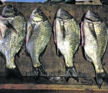 These quality bream were caught in the Tarwin River. They were the unlucky ones, as many others were returned to the water.