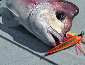 A hungry knobby that chomped on a Shimano Bottom Ship jig.