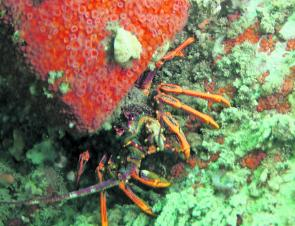 Cray season opens in mid November and is a popular time for divers in the Apollo Bay area.
