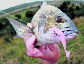 The Aire and Barham river estuaries have been reliable fishing locations for black bream.