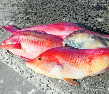 Maori wrasse, pigfish and goatfish (or red mullet as some prefer), are common winter fare for the shallow water bottom bouncers.