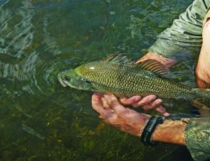 Clean, flowing water ensures bass in the Upper Macleay are full of fight and in top condition.