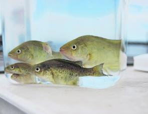 One million extra Murray cod fingerlings were stocked into Lake Eildon over three years