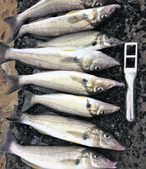 Some quality whiting caught by the author on the George's River near Oatley.