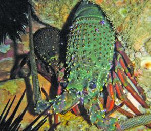 Eastern rock lobster (Jasus verreauxi).