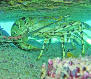 Painted spiny lobster (Panulirus versicolor).