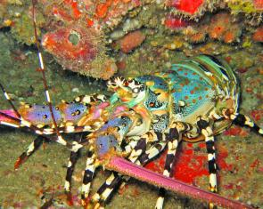 Tropical rock lobster (Panulirus ornatus).