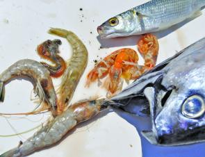 The author's top five estuary baits. Clockwise from top: Mullet, nippers, striped tuna, prawns and squirt worms.