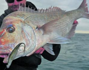 Mangrove jack guru Mick Horn is still getting into the red fish through winter with this great snapper caught on a Z-Man StreakZ rigged on a TT jighead.