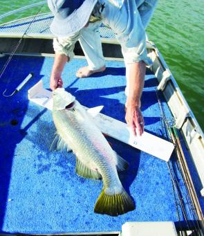 Any large barramundi should be measured carefully and supported horizontally before being carefully returned to the water.
