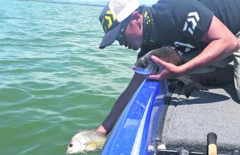 The author releases some hefty bream he caught in the Northern Bay.