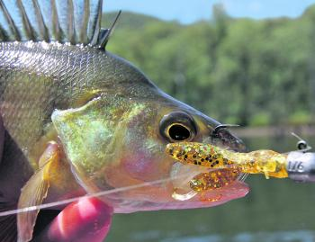 A Lake William Hovell redfin caught on a Damiki Air-craw soft plastic bobbed up and down on the bottom.