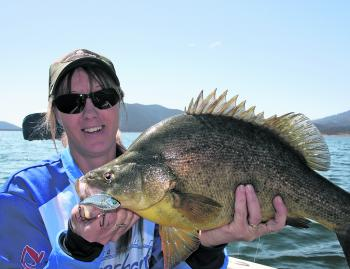 Another beautiful Blowering Dam golden perch fooled by one of the new Insanity Tackle Slap walkers.