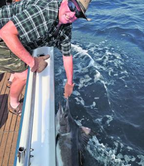 This season's black marlin run is a 'once in a decade' event.
