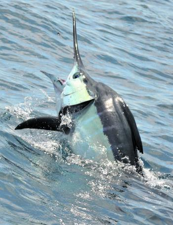 A striped marlin raising its head and trying to throw the hook.