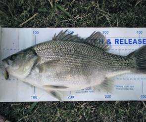 This healthy bass was caught at St Clair walking the banks using a TN 50 Jackall.