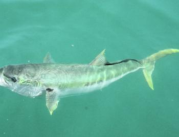 Kingfish are always curious, especially when you are retrieving what they like to eat to the boat.