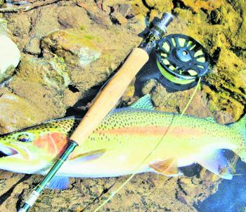Another stonking Tumut River rainbow. Fish of this size have been very common this season.