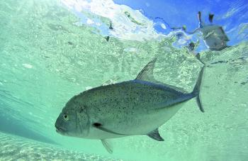 A bluefin trevally in shallow water fringing a coral cay.