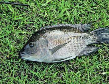 A typical Mozambique tilapia. Note the typical full-length dorsal and anal fins and the slate grey colour.