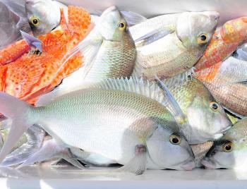 Morwong make for a tasty meal and are easy to come by in the winter.