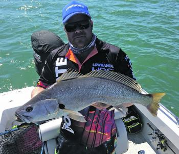 "A small mulloway on ZMan 5"" PaddlerZ in gold rush colour."