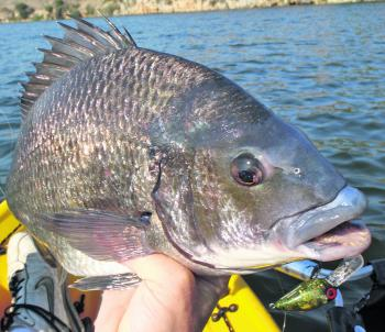 Chubby style lures are a good way to suss out the big bream.