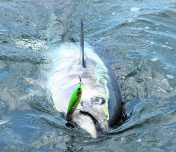A beast bluefin slides towards the boat.