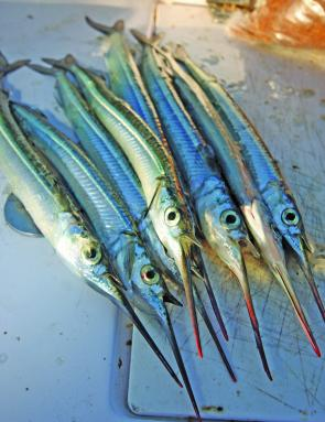 Picture Of A Gar Fish | Fishing Monthly Magazines Get Into Garfish