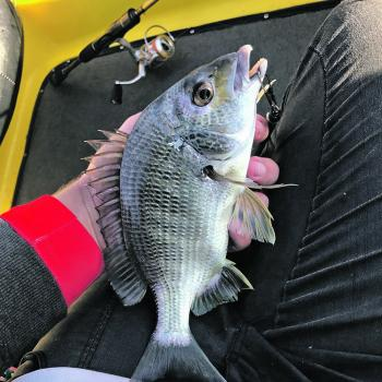 Bream are almost always on the cards in the Manning estuary.