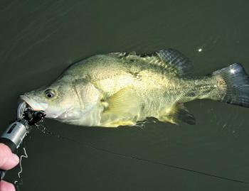 Good numbers of golden perch are being caught in the Campaspe River on lipless crankbaits.