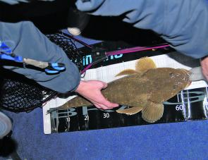 A chunky Brisbane River flathead being measured before release.