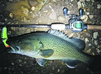 This lovely trout cod took the author's Koolabung Cod Cracker surface lure after dark, only five minutes from the Wangaratta CBD.