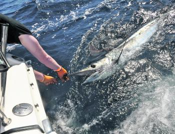 Away from the Cairns heavy tackle fishery, blues are the largest marlin east coast anglers are likely to regularly encounter.