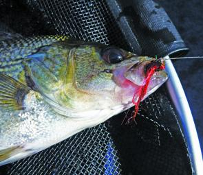Don't overlook the red Vampire; on some days it's the best fly for impoundment bass.