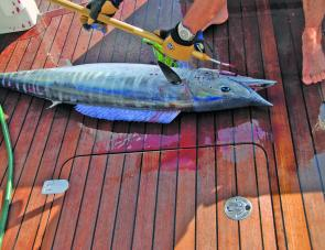 Make sure you have plenty of clear deck space before hoisting a wahoo aboard.